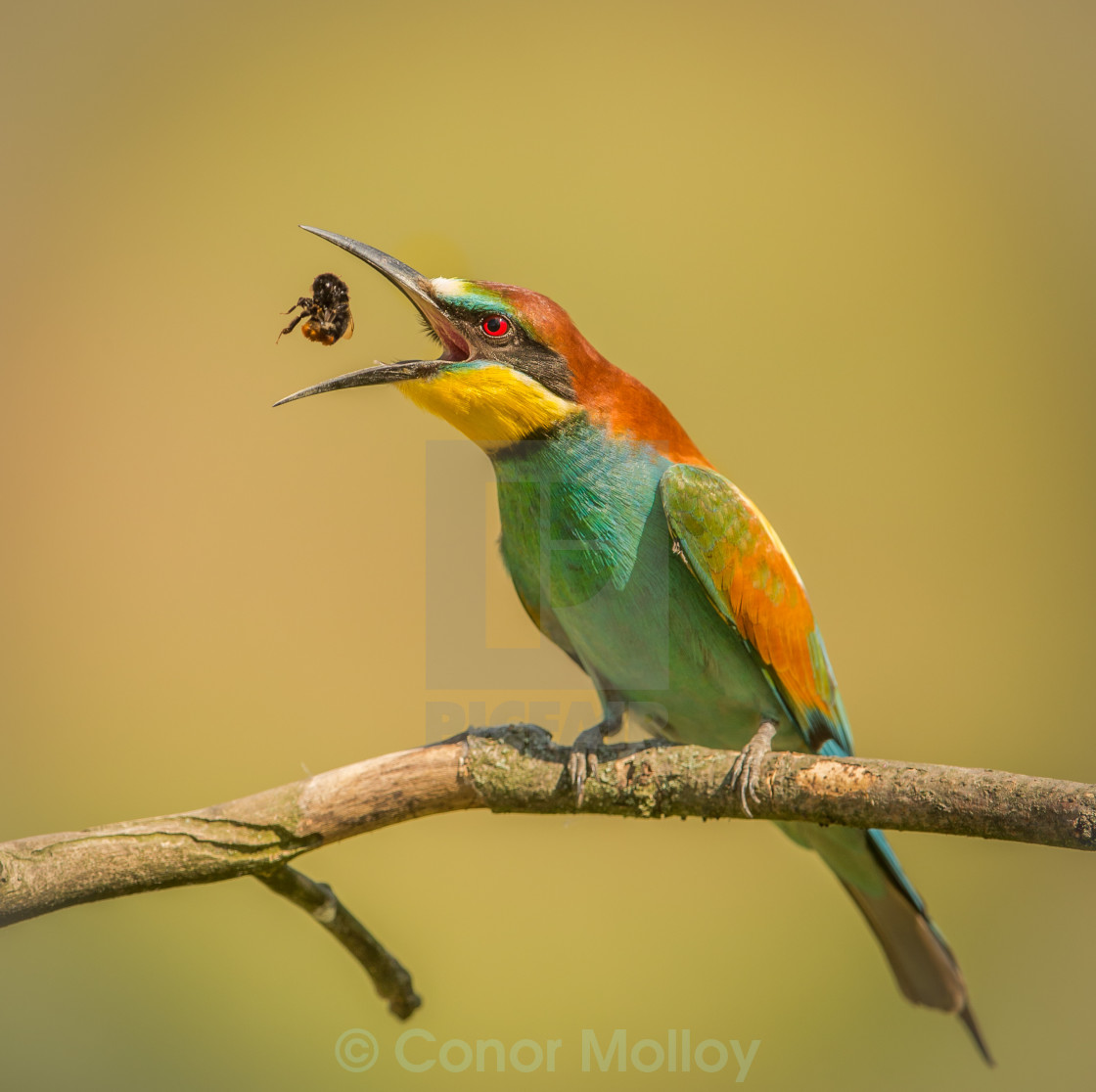 """Beeeater catching bee"" stock image"