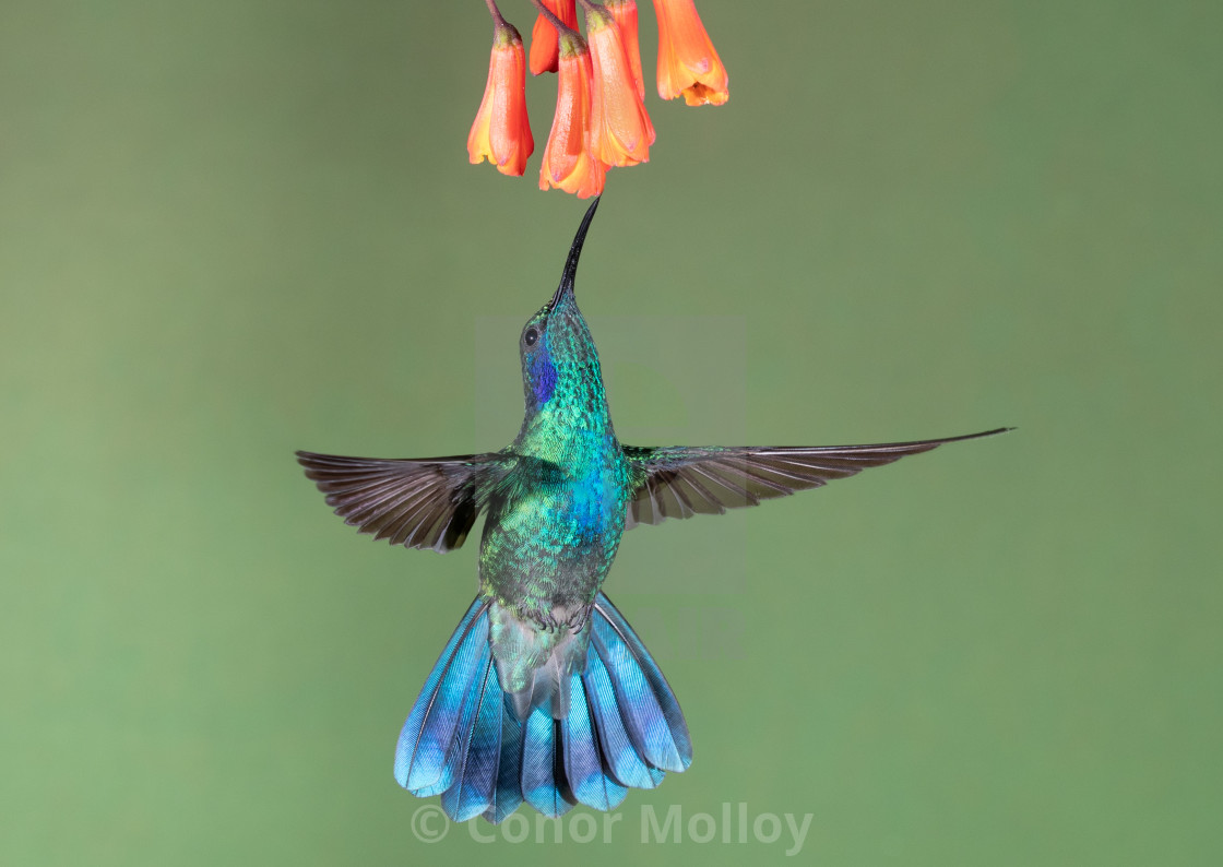 """Green violet-ear Hummingbird on flowers"" stock image"