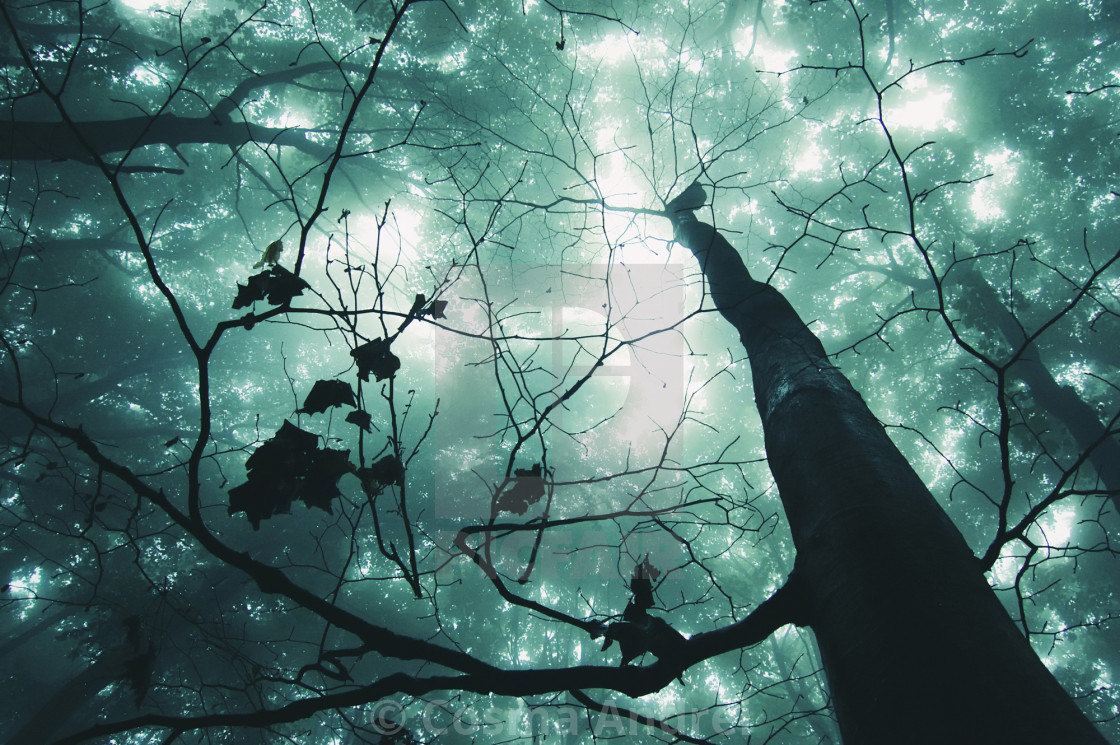 """Enchanted fantasy forest with fog and trees reaching up"" stock image"