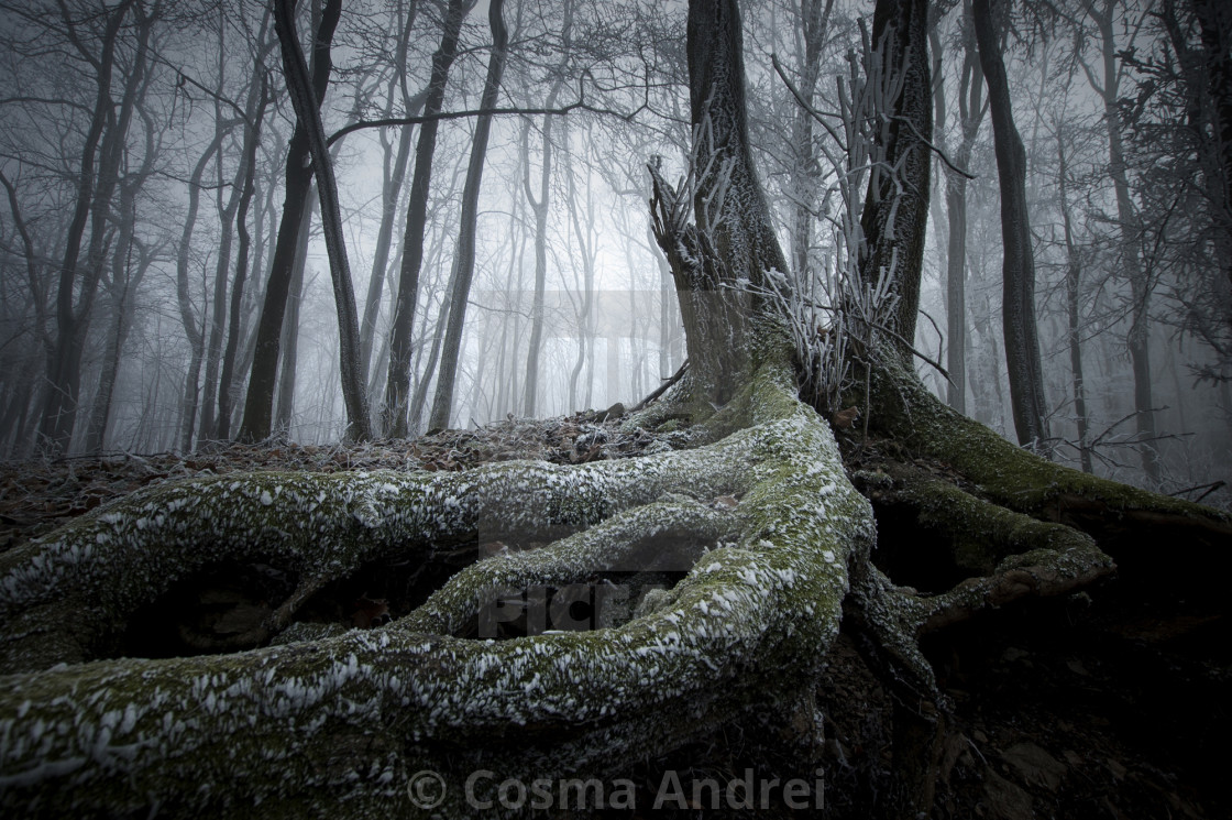 """Tree with big roots in frozen forest in late autumn"" stock image"