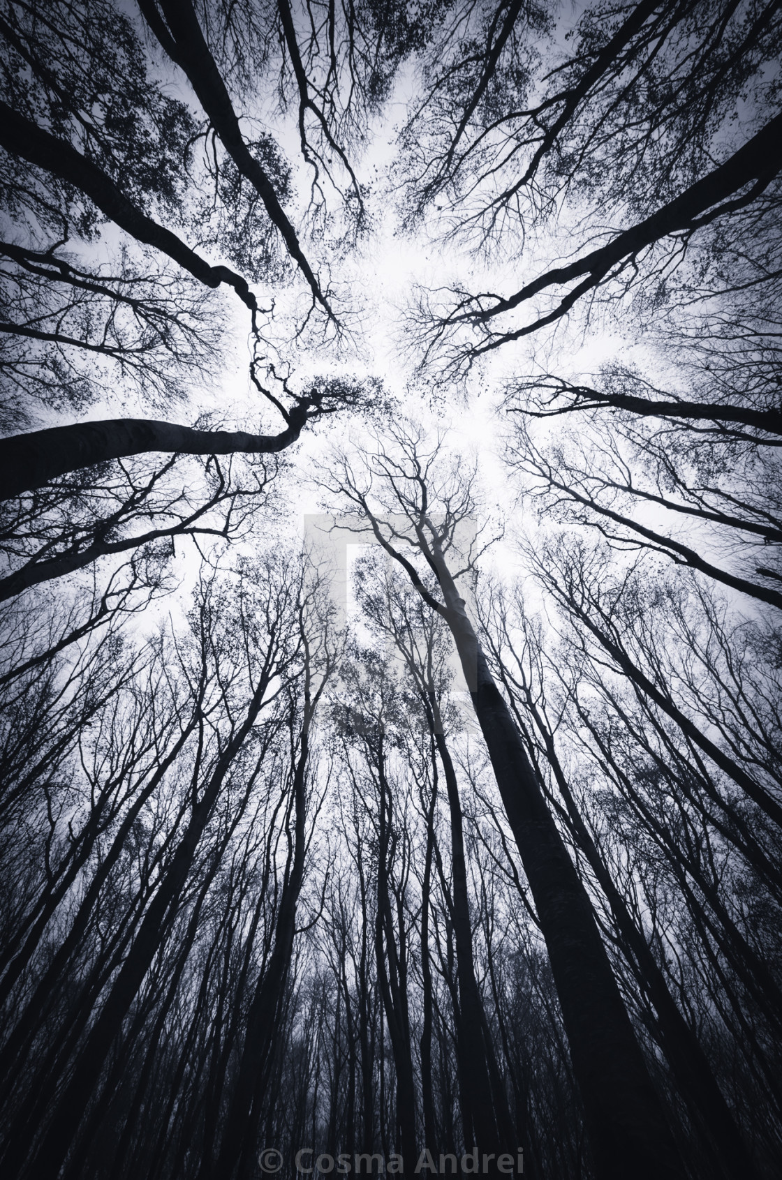 """trees silhouette against the sky in dark scary woods on Halloween night"" stock image"