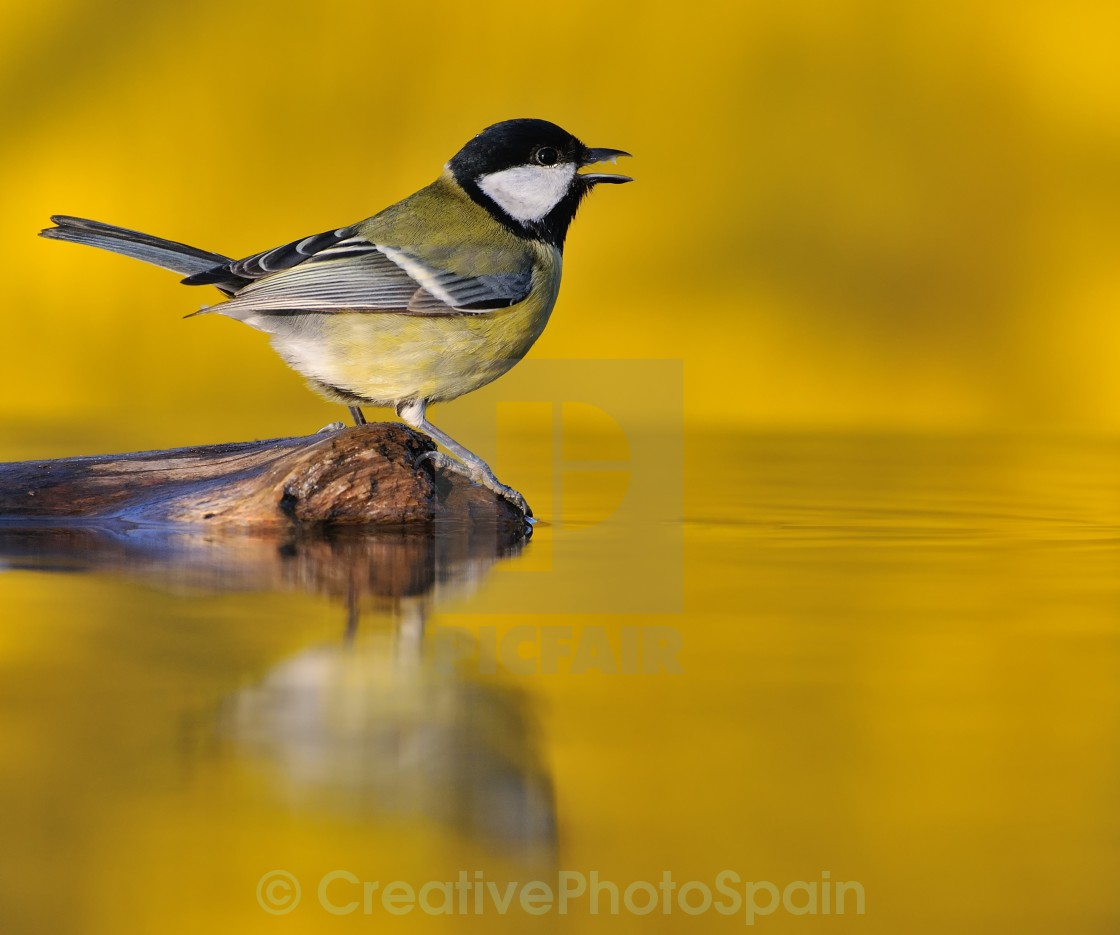 """Great tit at sunset."" stock image"