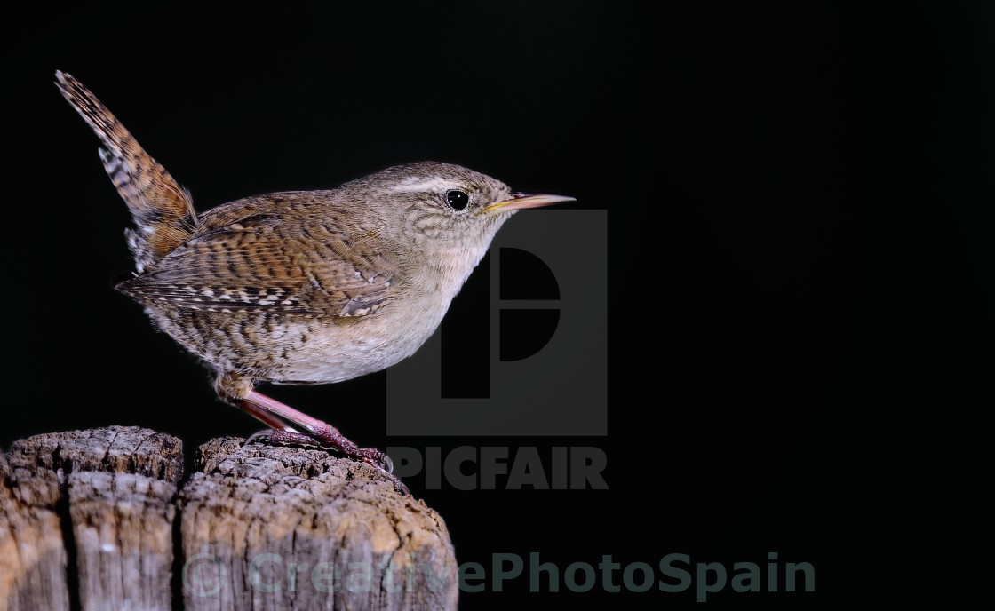 """Winter wren on black background"" stock image"