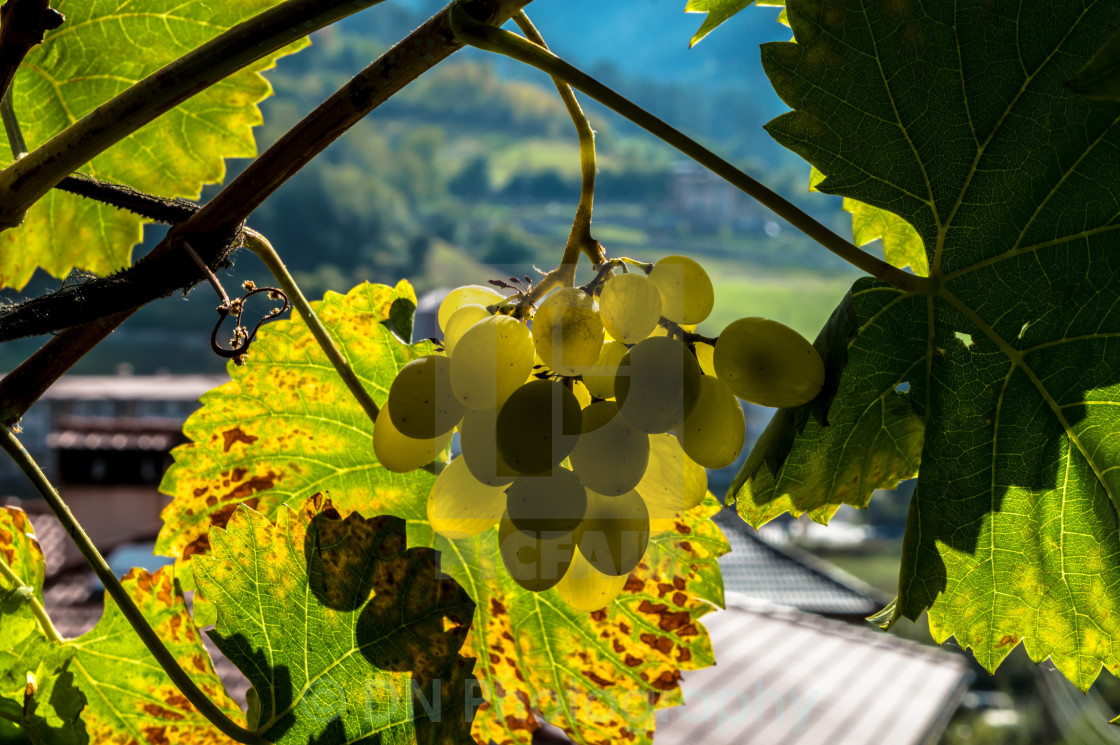 """Yellow grapes"" stock image"