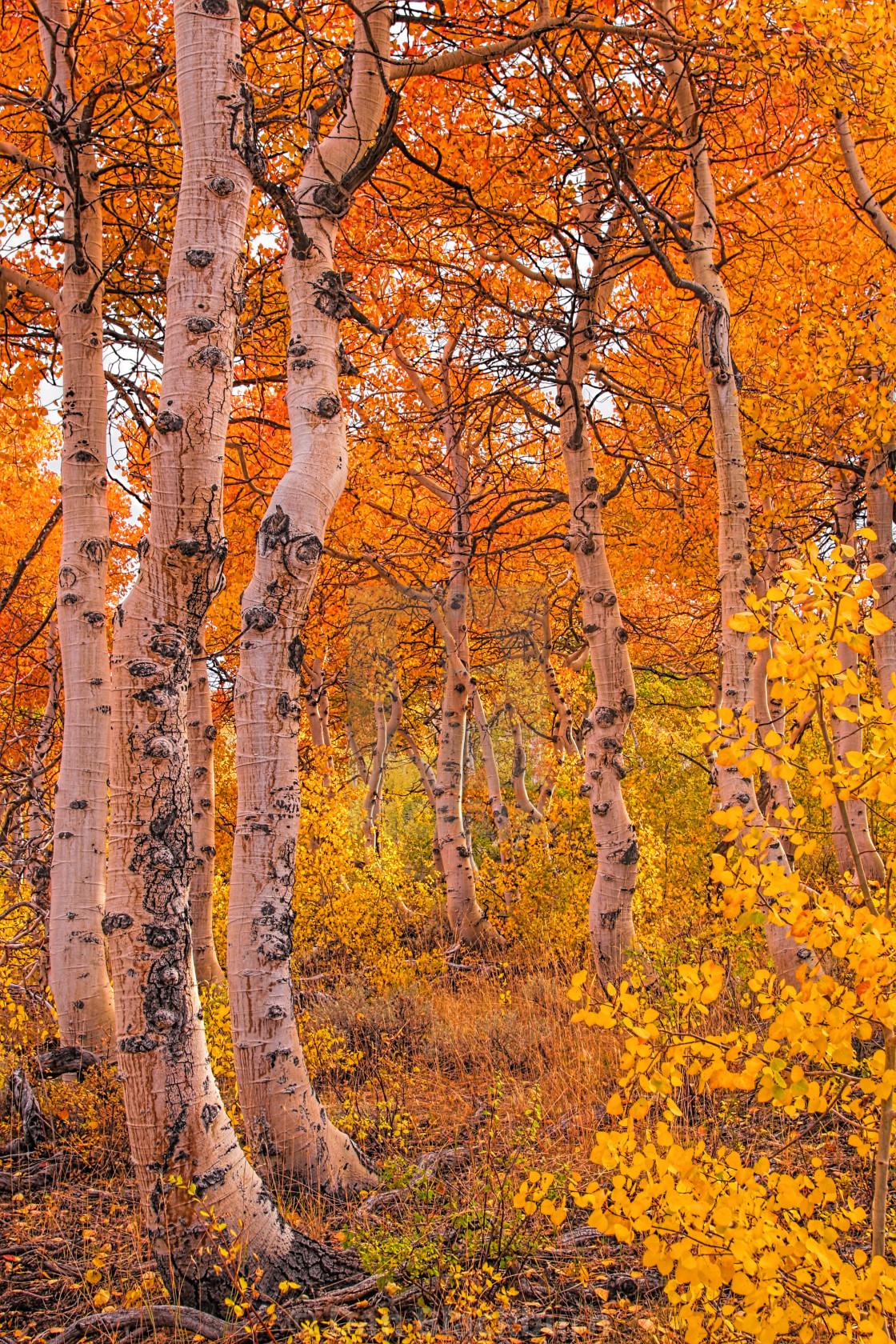 """""""Golden Aspens in the Sierra"""" stock image"""