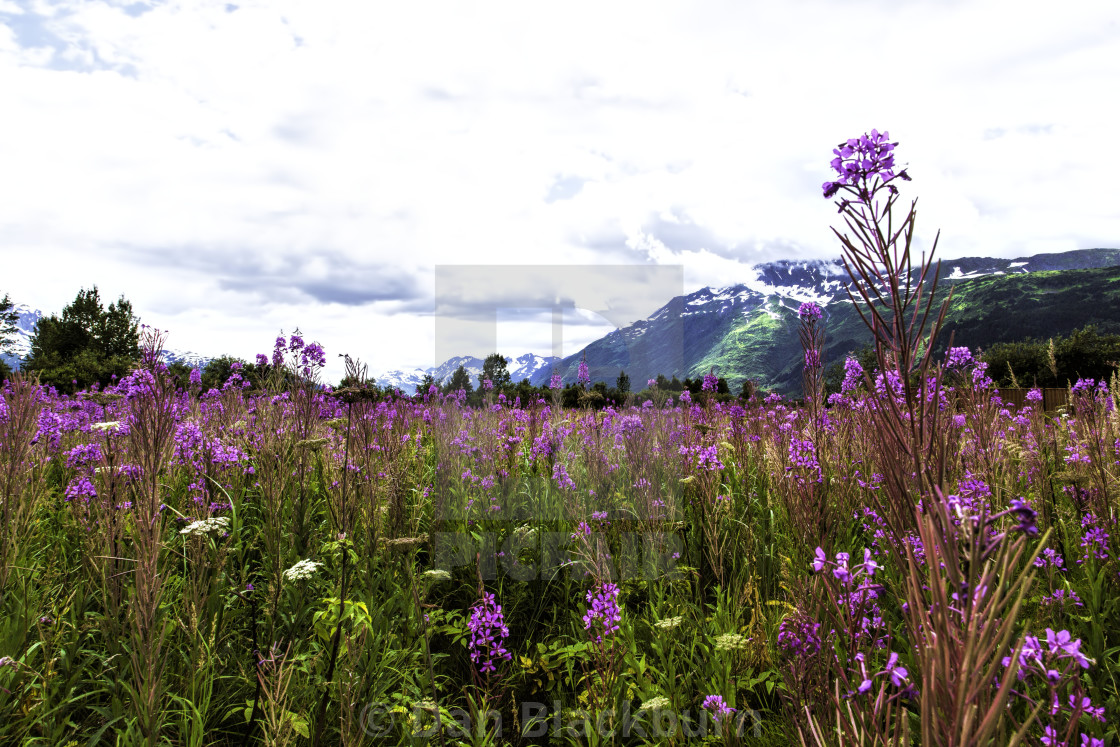 """Dramatic Fireweed & Mountains Portage Alaska"" stock image"