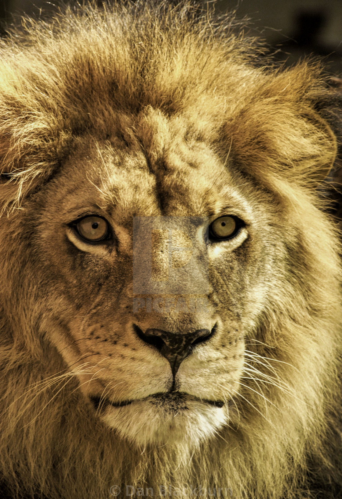 """Close Up of a Male Lion"" stock image"
