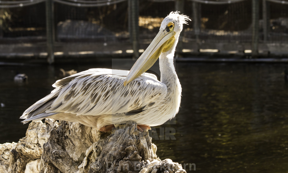 """""""Pink Backed Pelican"""" stock image"""