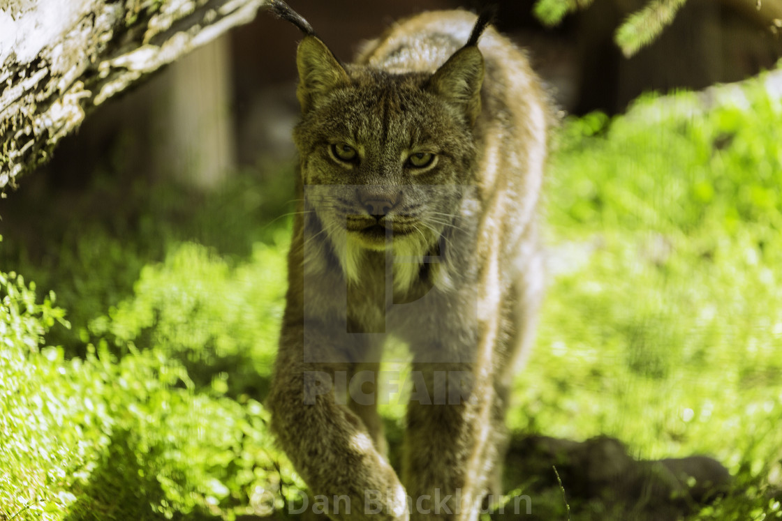 """Alaska Lynx Approaches"" stock image"