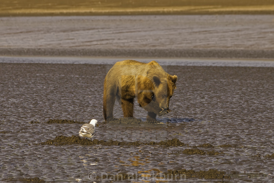 """""""Grizzly Bearin Shallow Water"""" stock image"""