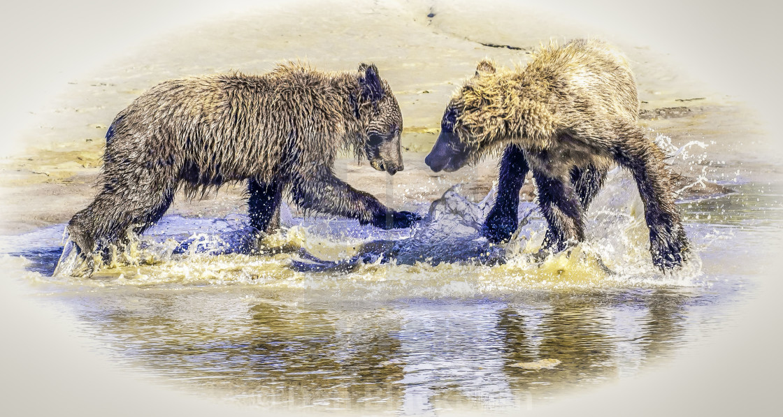"""""""Two Grizzly Bear Cubs Playing in Water"""" stock image"""