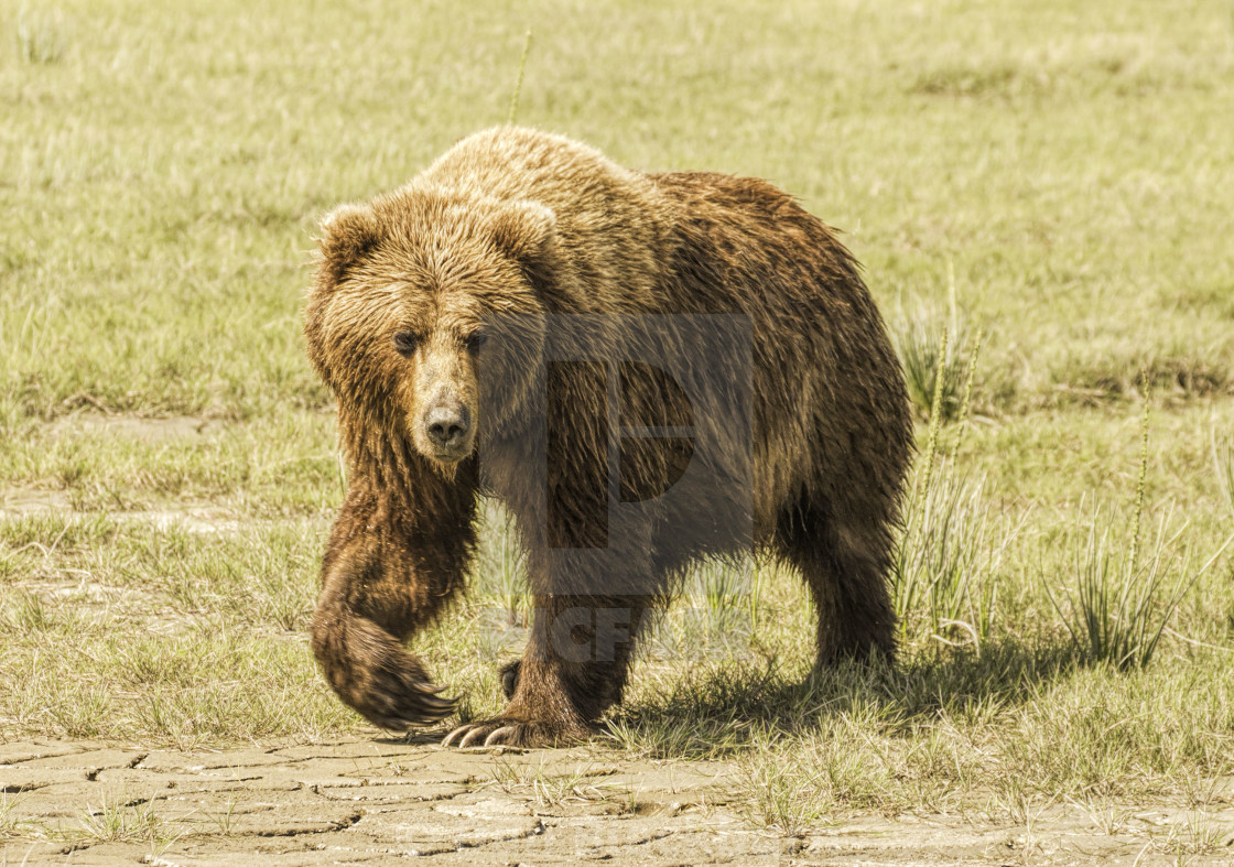 """Adult Grizzly Bear in Alaska"" stock image"