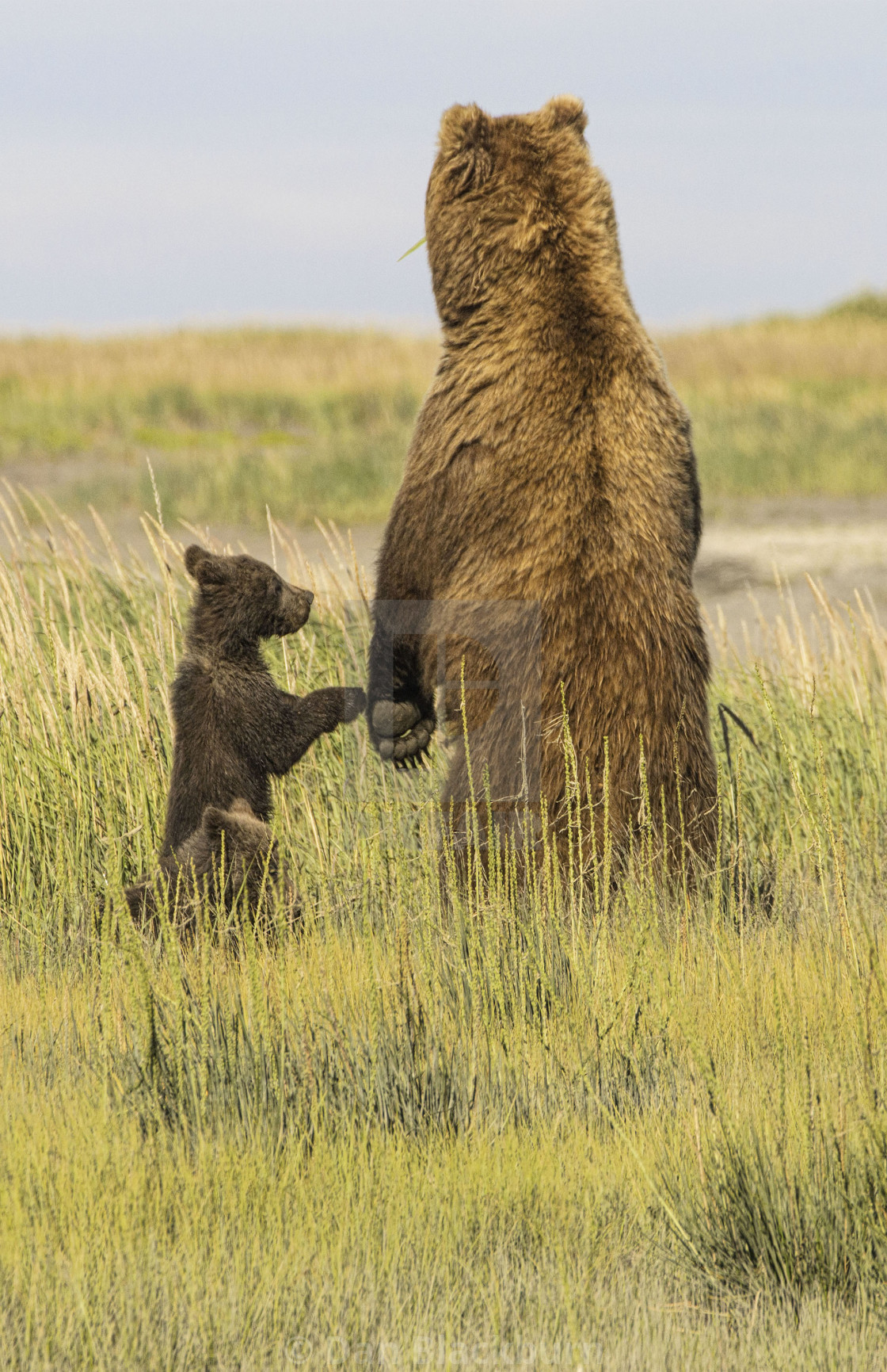 """Female Grizzly Bear & Cub Alert for Danger"" stock image"