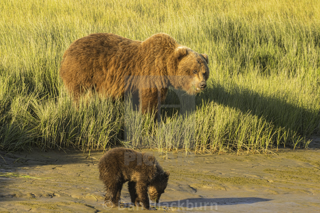 """Grizzly Bear Mother and Cub At Water's Edge"" stock image"