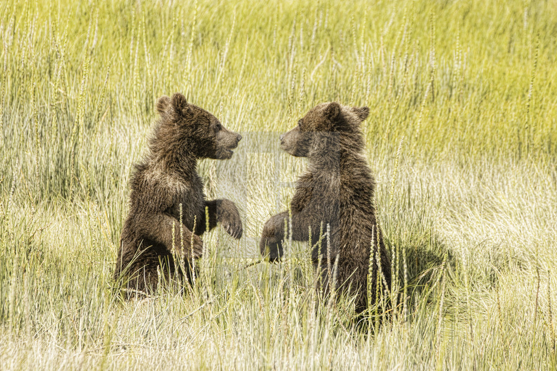 """""""Grizzly Bear Cubs At Play in Alaska"""" stock image"""