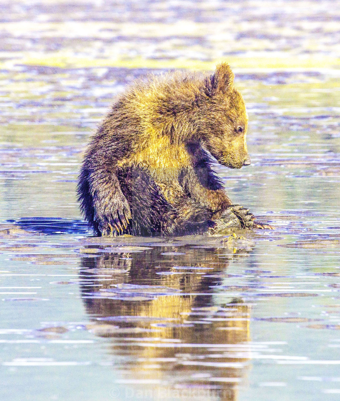 """""""Grizzly Bear Cubs Chills Out in Alaska"""" stock image"""