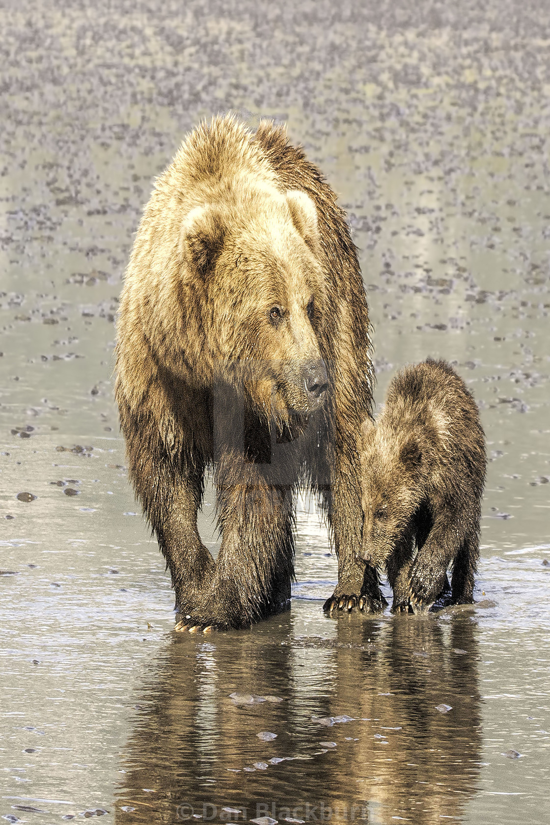 """Female Grizzly Bear & Cub In The Water"" stock image"