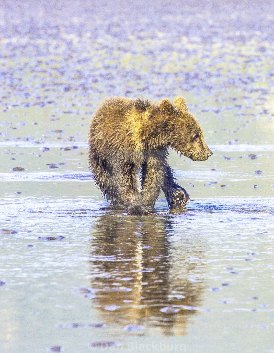 """Grizzly Bear Cub Splashing in the Water"" stock image"