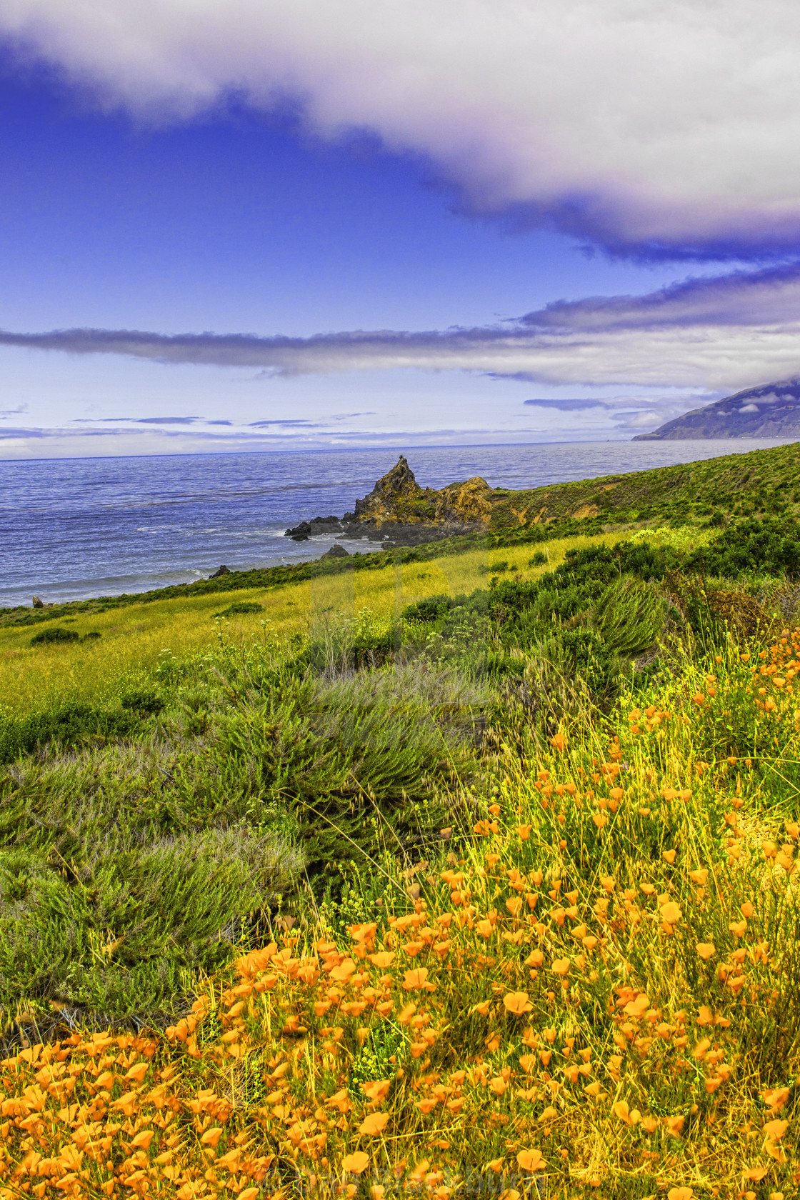 """California Poppies Blooming Along Highway 1 in Big Sur California"" stock image"