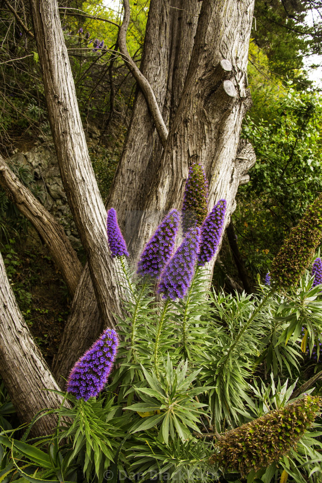 """Pride of Madeira Wildflower Big Sur California"" stock image"