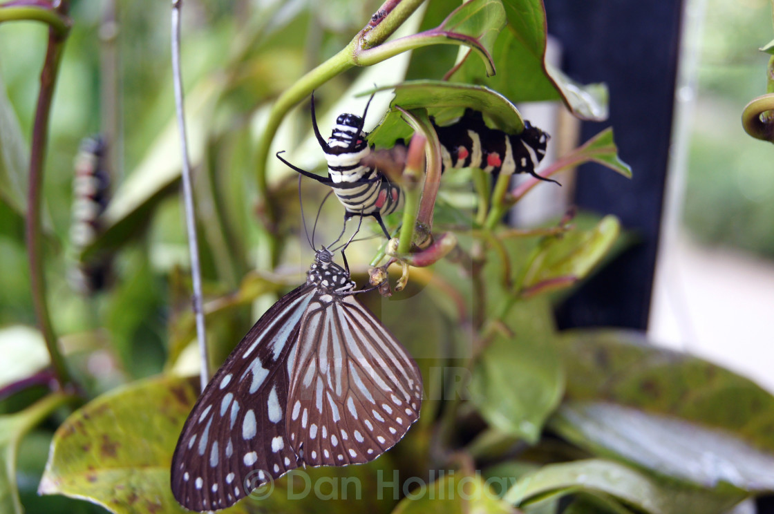"""Butterfly and Caterpillar"" stock image"