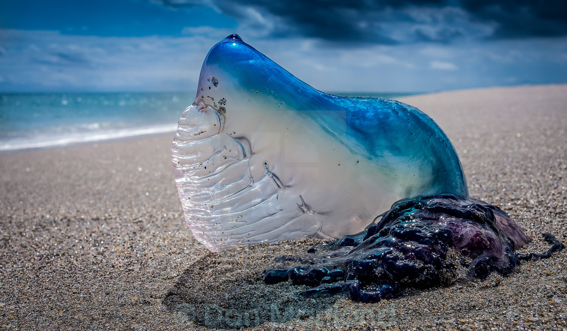 """Washed Up Jellyfish"" stock image"