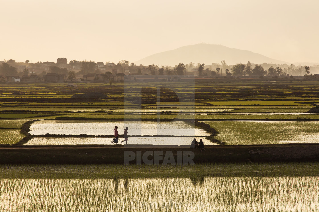 """Rice fields of Madagascar"" stock image"