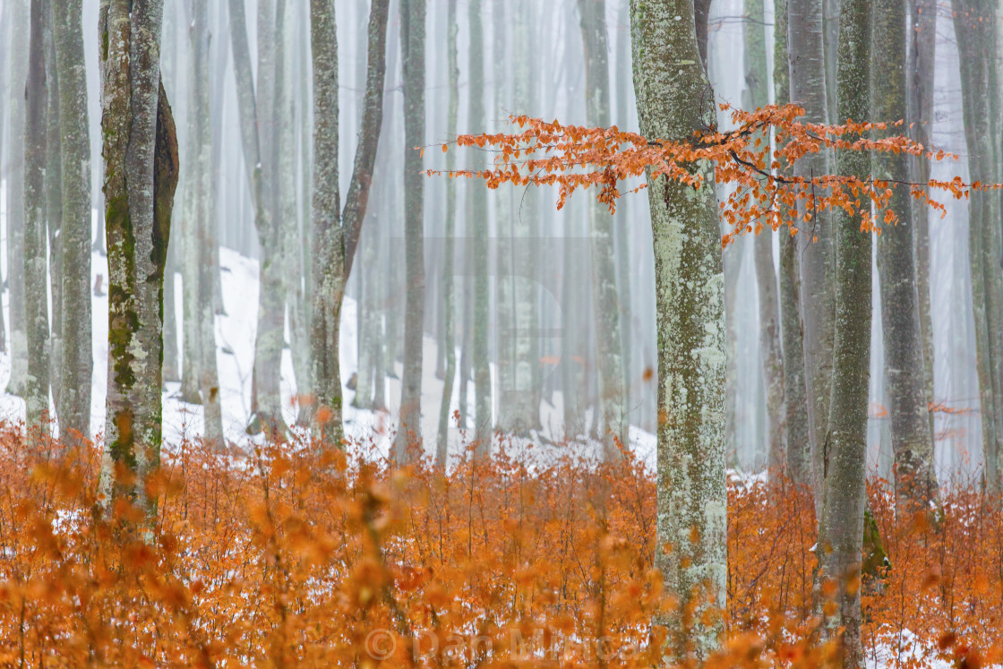 """Forest with the fog in winter time, colorful forest"" stock image"