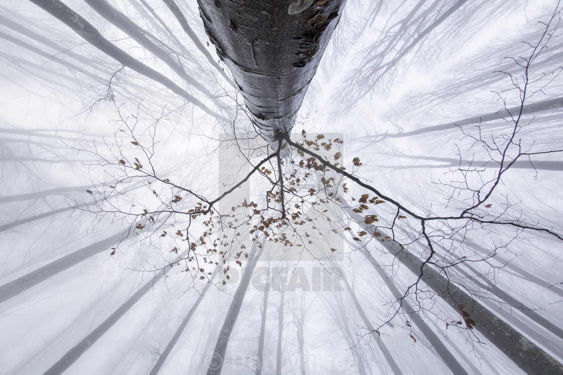 """View of tree from bellow in winter time"" stock image"