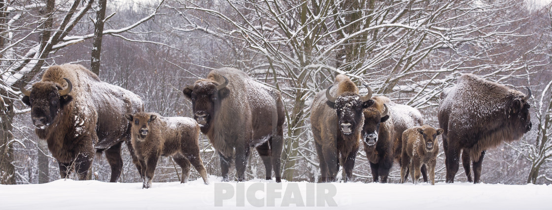 """Bisons family in winter day in the snow."" stock image"