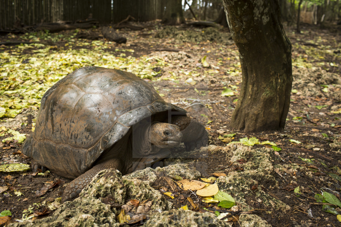 """""""Turtles in Prison Island of Zanzibar. Here you can find turtles with more..."""" stock image"""