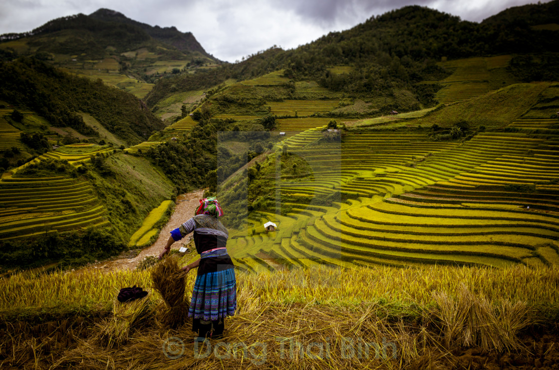 """Vietnam Amazing Rice Field"" stock image"
