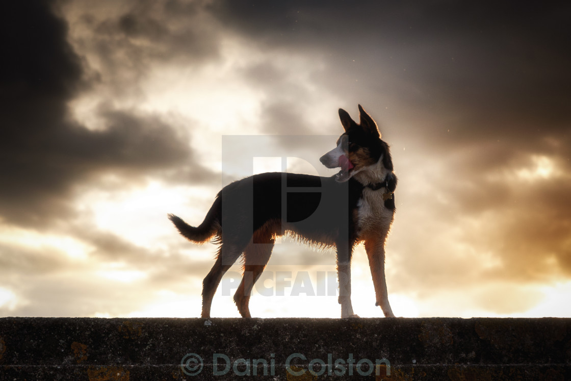 """sunset dog"" stock image"