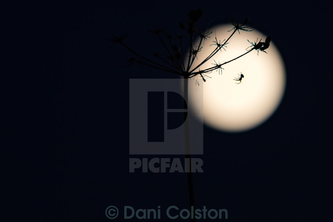 """Super Moon spider"" stock image"