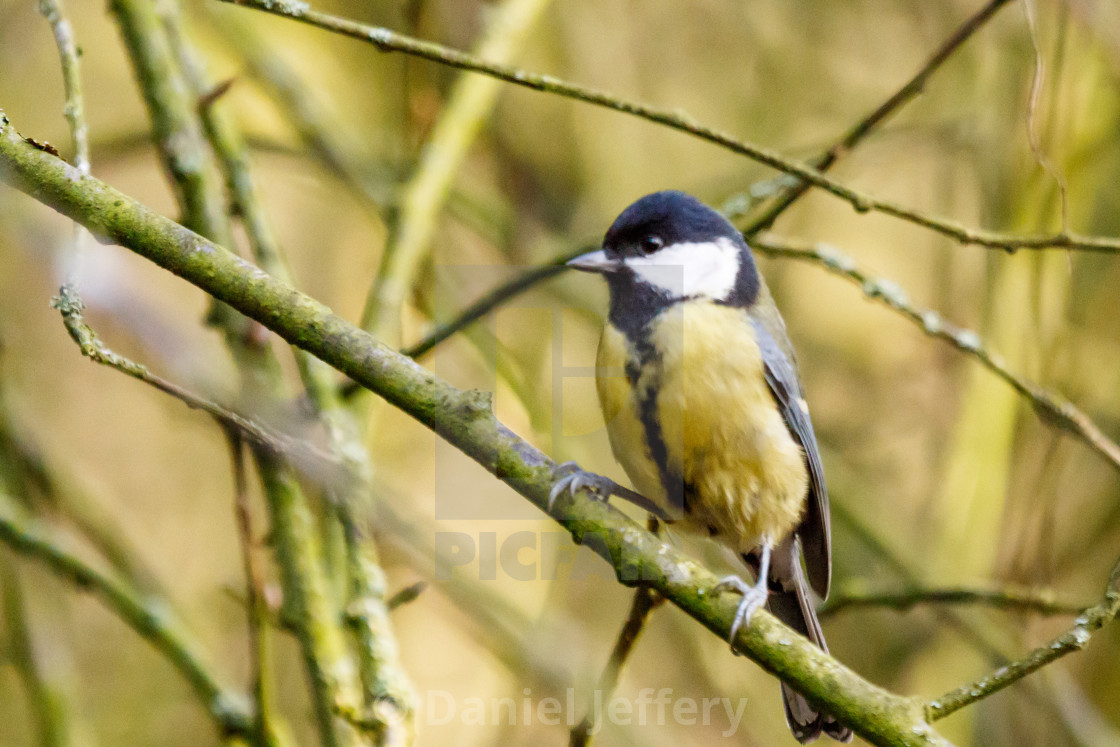 """Great tit."" stock image"