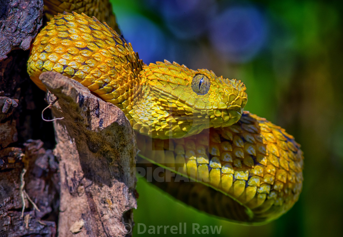 """Atheris squamigera, Variable bush viper"" stock image"