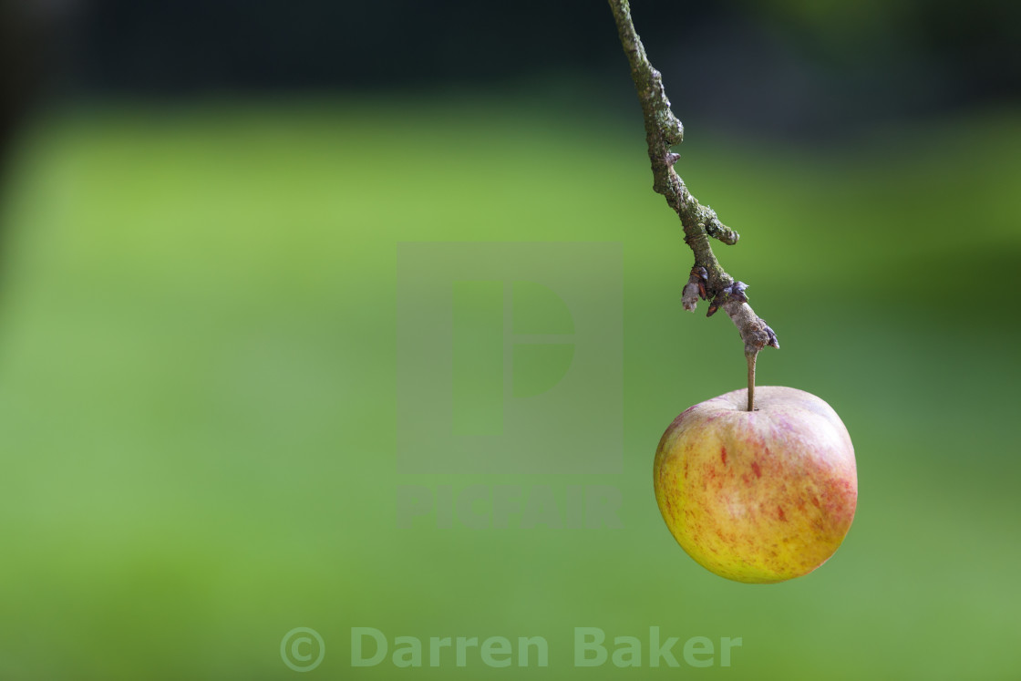 """One Single Apple Hanging on The Branch of a Tree"" stock image"