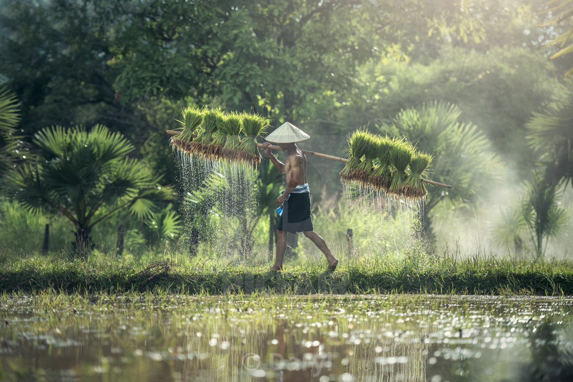 """Farmers carrying seedlings in rice farm"" stock image"