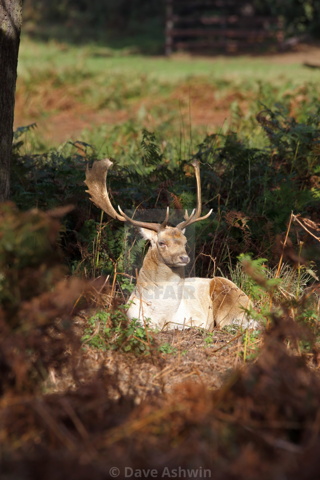 """Fallow deer stag"" stock image"