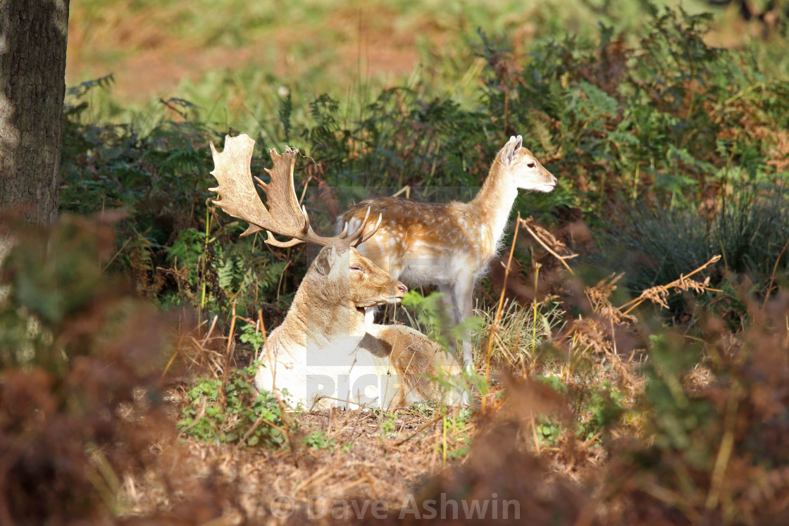 """""""Fallow deer stag and hind"""" stock image"""