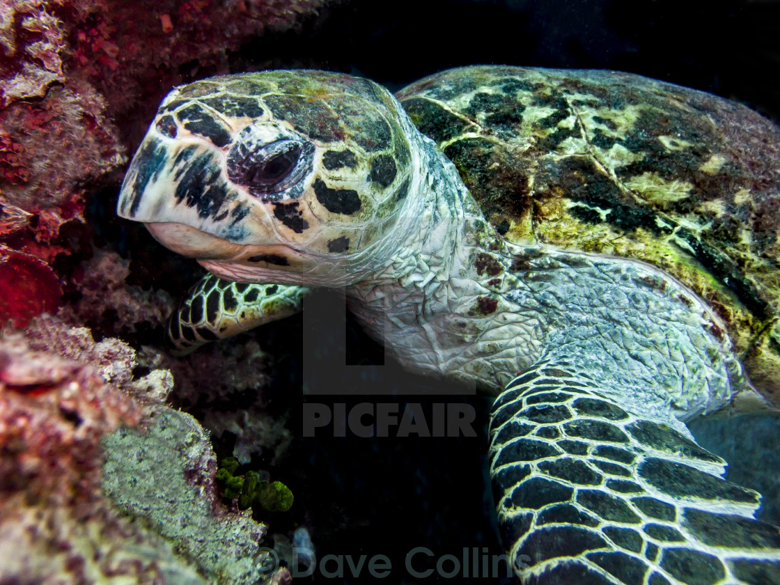 """Turtle - Feeding on Coral"" stock image"