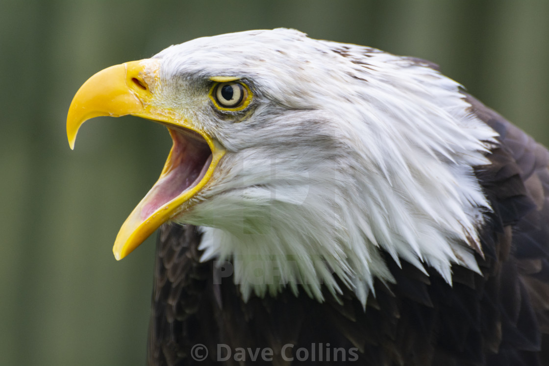 """""""Bald Eagle, expressing an opinion"""" stock image"""