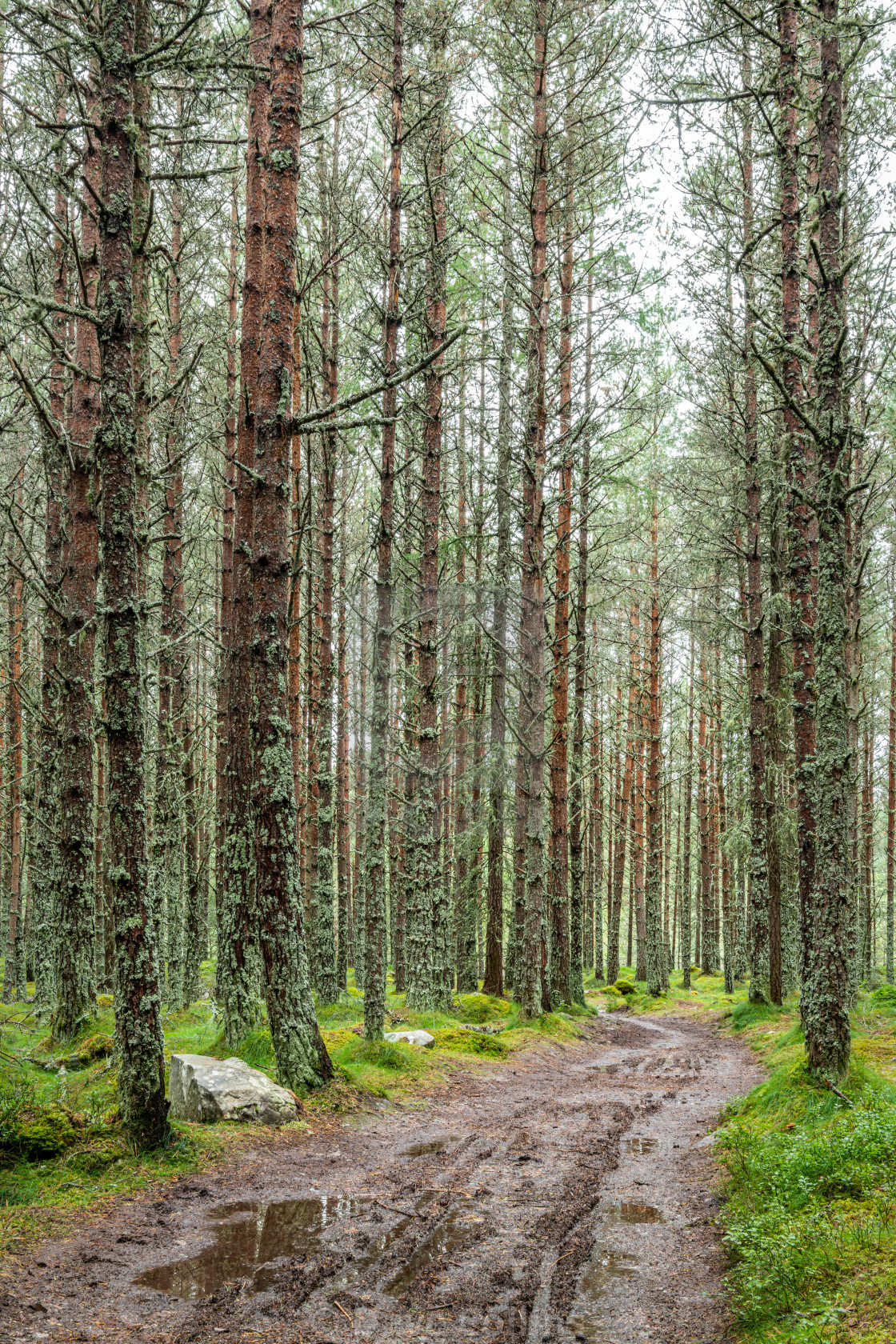 """A Woodland Track, Mar Lodge, Aberdeenshire, Scotland"" stock image"
