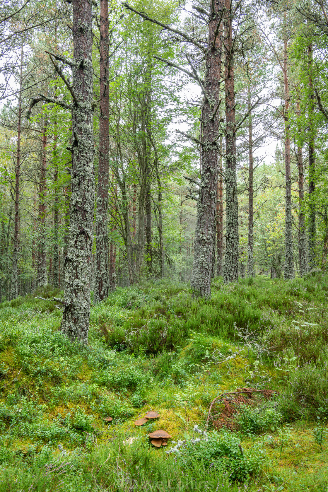 """Traditional Scottish Woodland, Mar Lodge, Aberdeenshire, Scotland"" stock image"