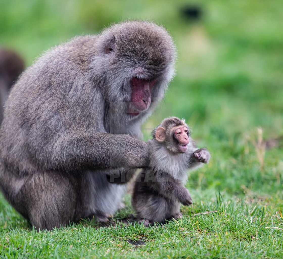 """""""Japanese Macaque - Mother and Baby (Captive)"""" stock image"""