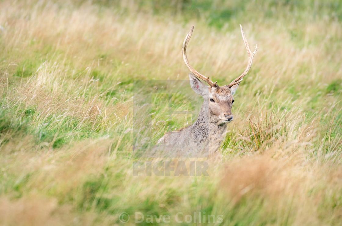 """Bukhara deer, Highland Wildlife Park, Scotland"" stock image"