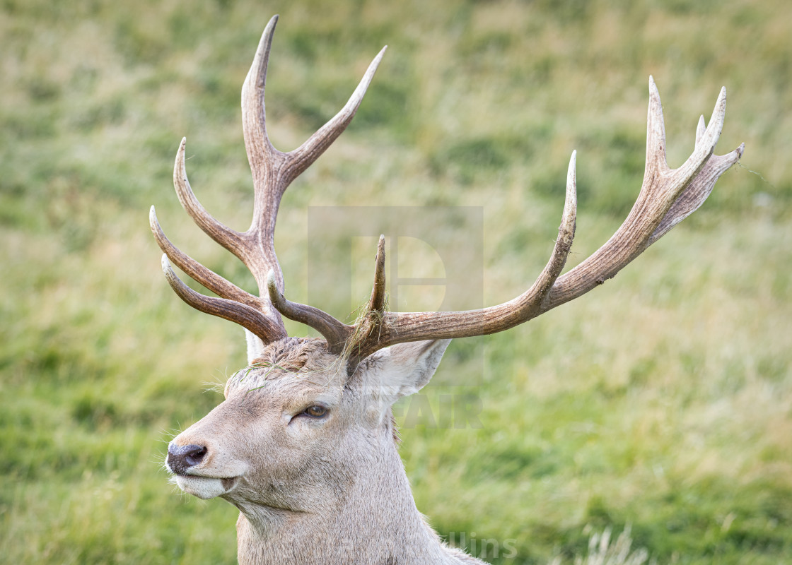 """Bukhara deer, Highland Wildlife Park, Scotland"" stock image"