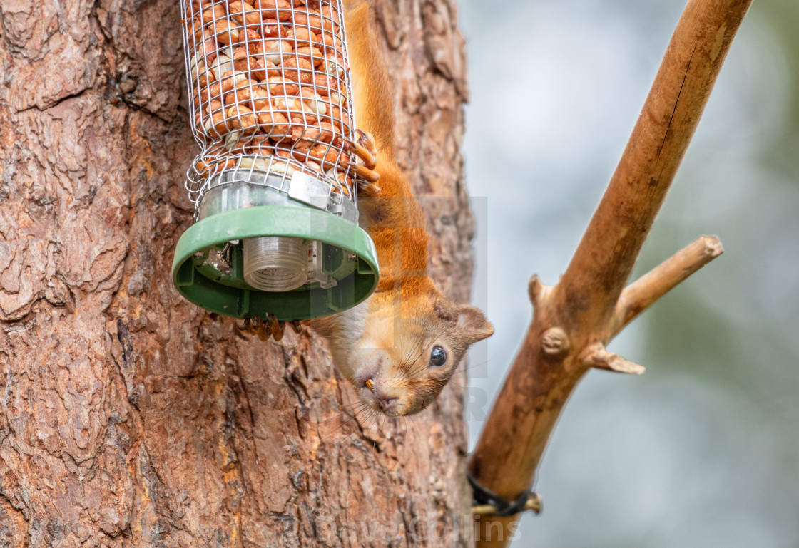 """Red Squirrel on a peanut bird feeder"" stock image"