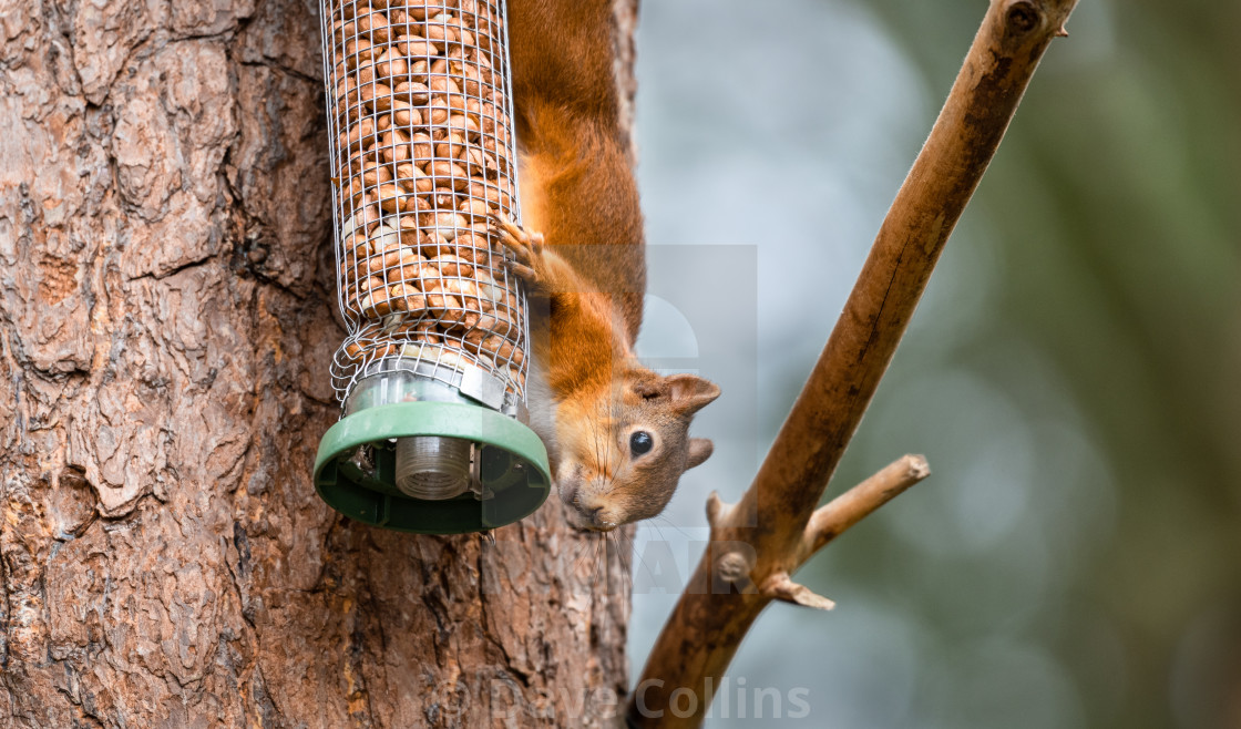 """Red Squirrel on a peanut bird feeder"" stock image"