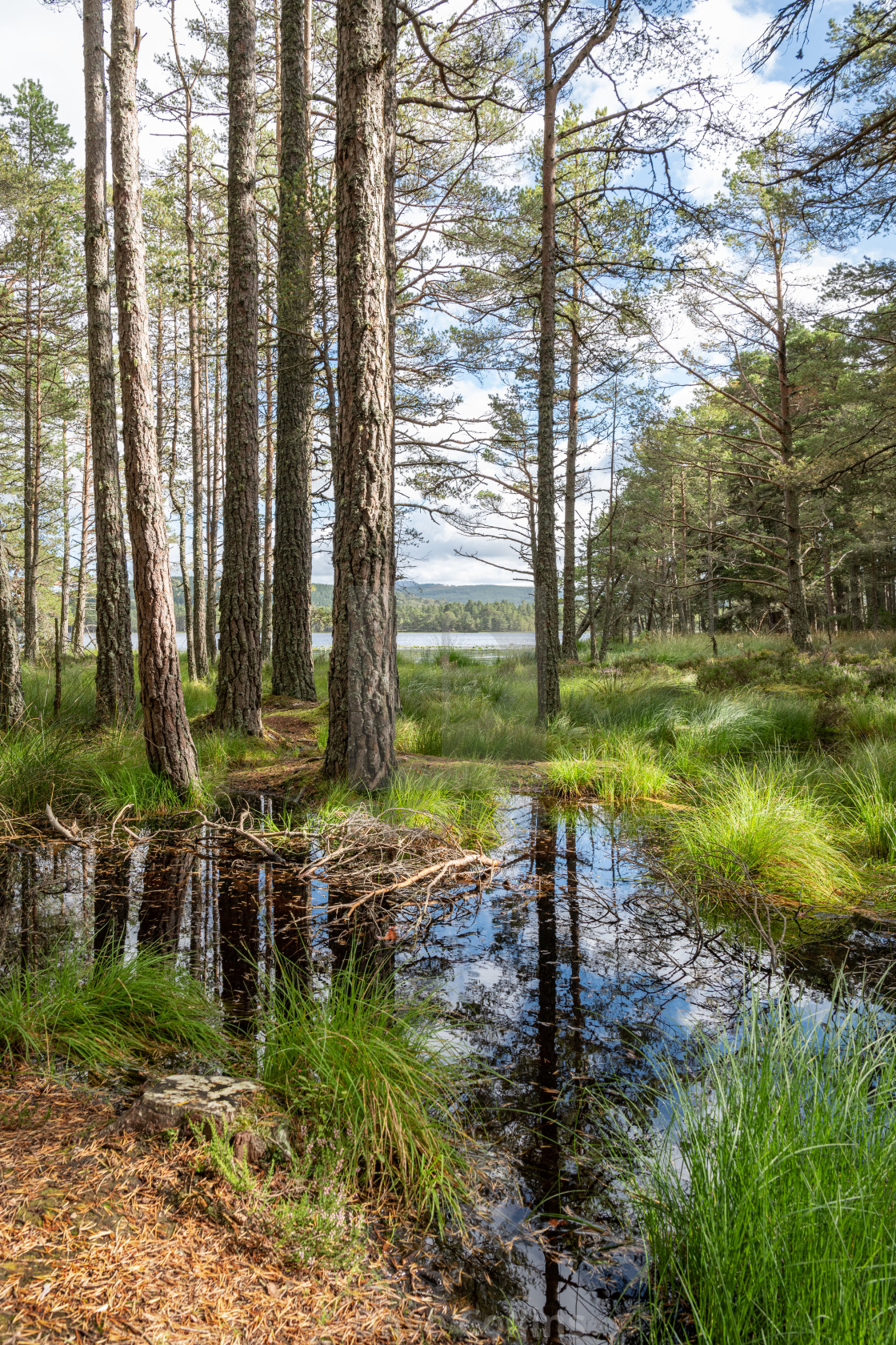 """Wetlands around Loch Garten, Highlands. Scotland"" stock image"